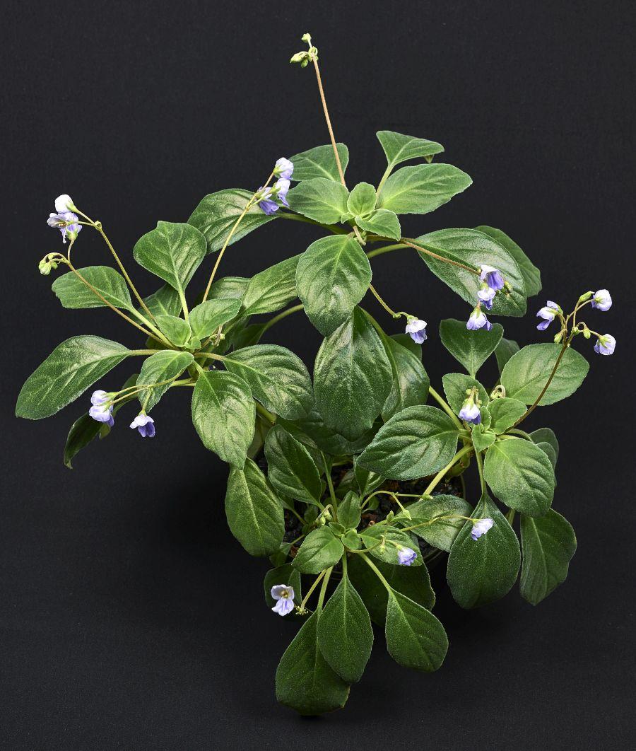 2016 Convention<br>Old World Gesneriads in Flower <br>Class 33 Other Old World gesneriads