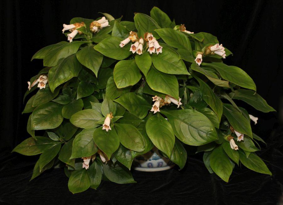 2016 Convention<br>Old World Gesneriads in Flower<br>JUDGES AWARD OF MERIT