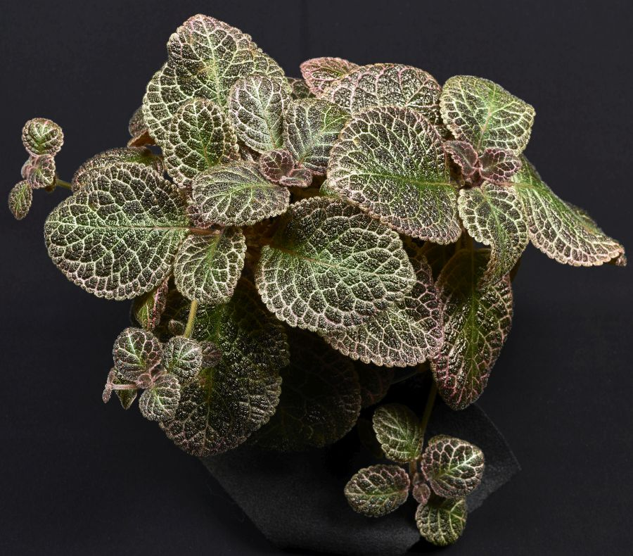 2016 Convention<br>Gesneriads Grown for Ornamental Qualities Other Than Flowers<br>Class 34 <i>Episcia</i>