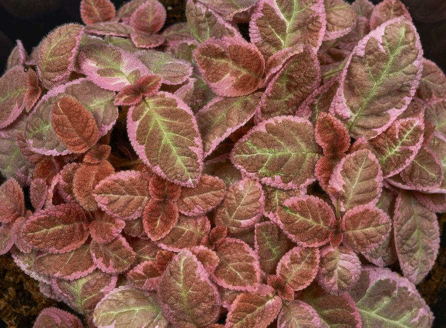 2016 Convention<br>Gesneriads Grown for Ornamental Qualities Other Than Flowers <br>Class 35 <i>Episcia</i> with pink and/or cream leaf variegation<br>BEST EPISCIA
