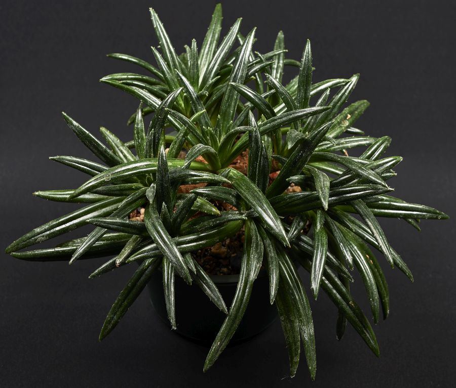 2016 Convention<br>Gesneriads Grown for Ornamental Qualities Other Than Flowers <br>Class 36A <i>Primulina</i><br>BEST GESNERIAD GROWN BY A FIRST-TIME CONVENTION EXHIBITOR