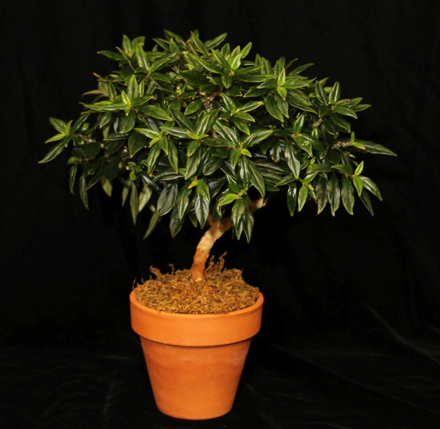 2016 Convention<br>Trained or Sculptured Gesneriads<br>Class 46 Bonsai, topiary, espaliered, or other style<br>BEST IN SECTION H –TRAINED GESNERIAD<br>BEST COLUMNEA