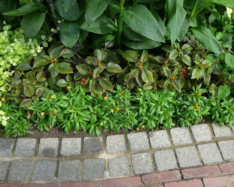 Chrysothemis as bedding plants