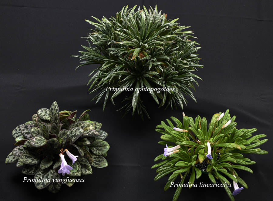 2016 Convention<br>Collections of Gesneriads<br>Class 49 Plants of a single genus either species, cultivars or hybrids<br>BEST IN SECTION J – COLLECTION OF GESNERIADS<br>BEST PRIMULINA