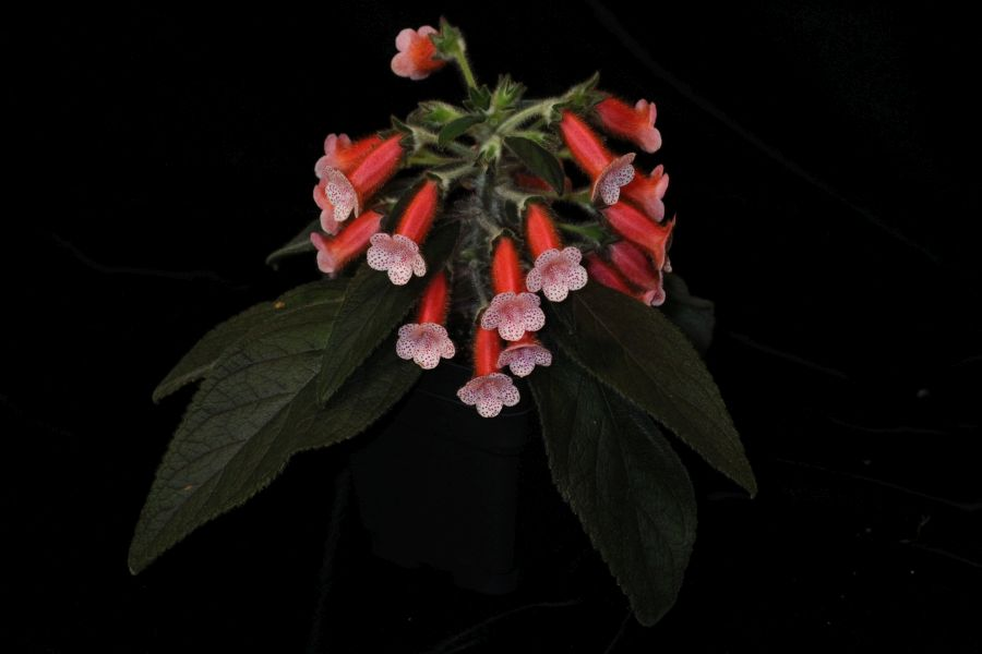 2017 Convention<br>New Gesneriads <br> Class 44B – Hybrids in flower<br>SECOND BEST NEW GESNERIAD