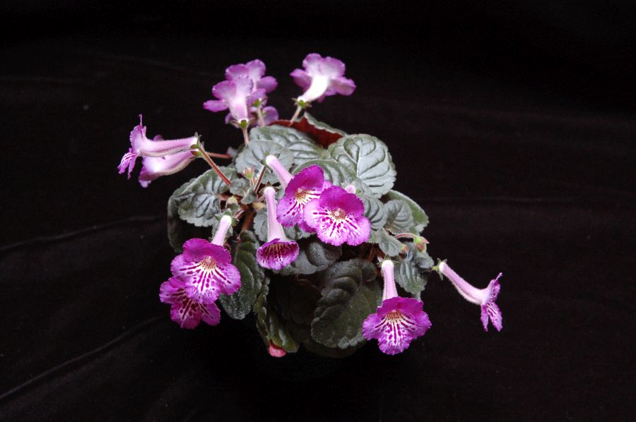 2017 Convention<br>New World Gesneriads in Flower – Tuberous <br>Class 4A Other<i> Sinningia</i> hybrids with rosette growth pattern<br>JUDGES AWARD OF MERIT