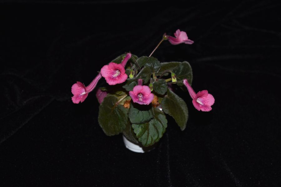 2017 Convention<br>New World Gesneriads in Flower – Tuberous <br>Class 4B Other <i>Sinningia</i> hybrids with rosette growth pattern