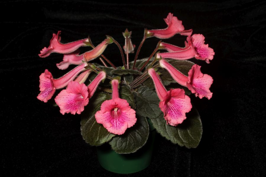 2017 Convention<br>New World Gesneriads in Flower – Tuberous <br>Class 4C Other <i>Sinningia</i> hybrids with rosette growth pattern<br>JUDGES AWARD OF MERIT<br> BEST IN SECTION A – NEW WORLD TUBEROUS GESNERIAD IN FLOWER