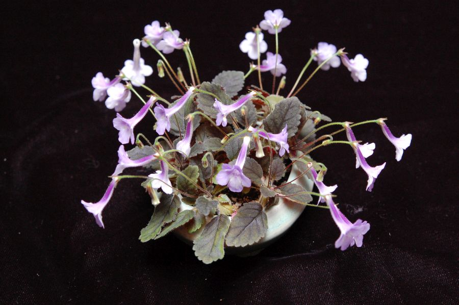 """2017 Convention<br>New World Gesneriads in Flower – Tuberous <br>Class 6 Other <i>Sinningia</i> species or hybrids (largest leaf less than 1"""" long)"""