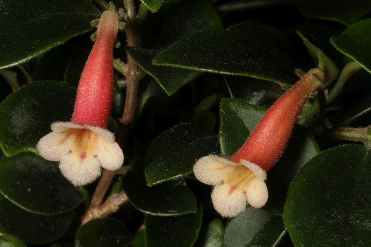2017 Convention<br>New World Gesneriads in Flower – Fibrous-Rooted<br>Class 14 <i>Codonanthe, Codonanthopsis, ×Codonatanthus</i>