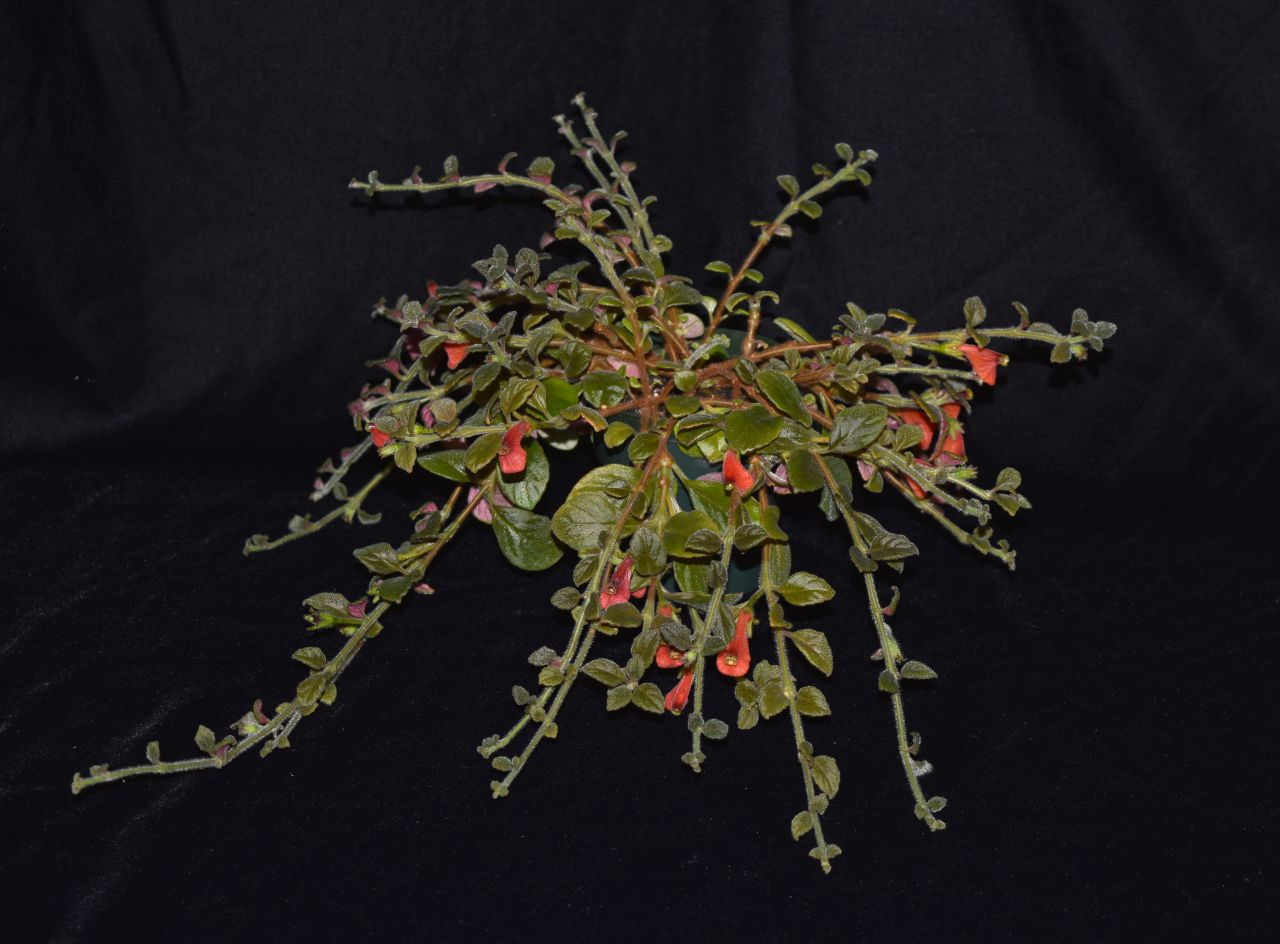 2017 Convention<br>New World Gesneriads in Flower – Fibrous-Rooted<br>Class 19 <i>Other fibrous-rooted gesneriads<br>BEST IN SECTION C – NEW WORLD FIBROUS-ROOTED GESNERIAD IN FLOWER