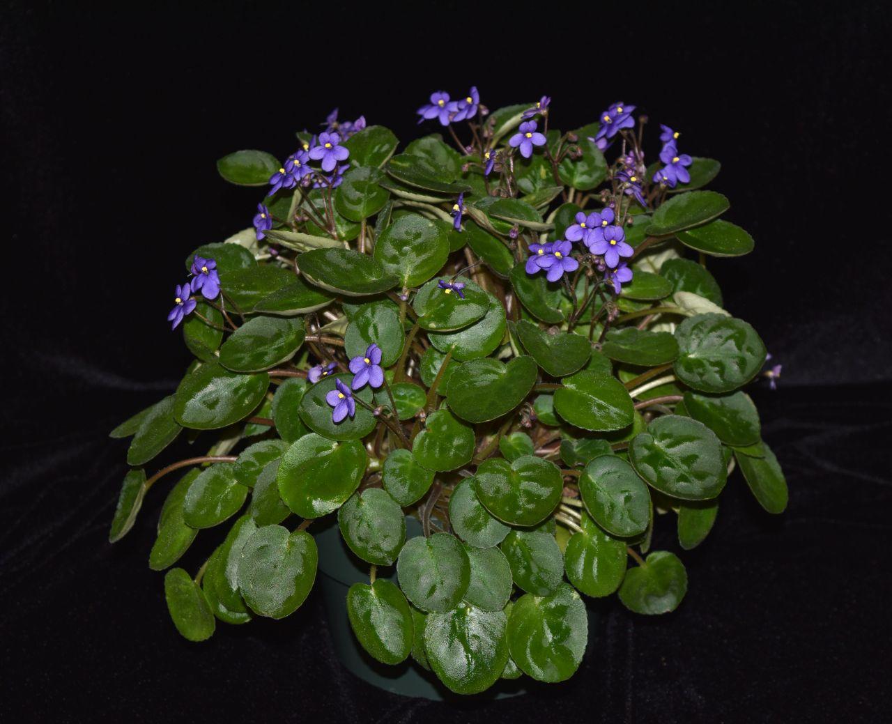 2017 Convention<br>Old World African Gesneriads in Flower<br>Class 20 – <i>Saintpaulia</i> species<br>BEST SAINTPAULIA SPECIES