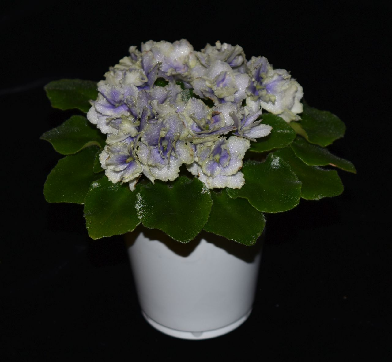 """2017 Convention<br>Old World African Gesneriads in Flower<br>Class 21 – <i>Saintpaulia</i> hybrids or cultivars classified as miniatures (max of 6"""" diameter)"""