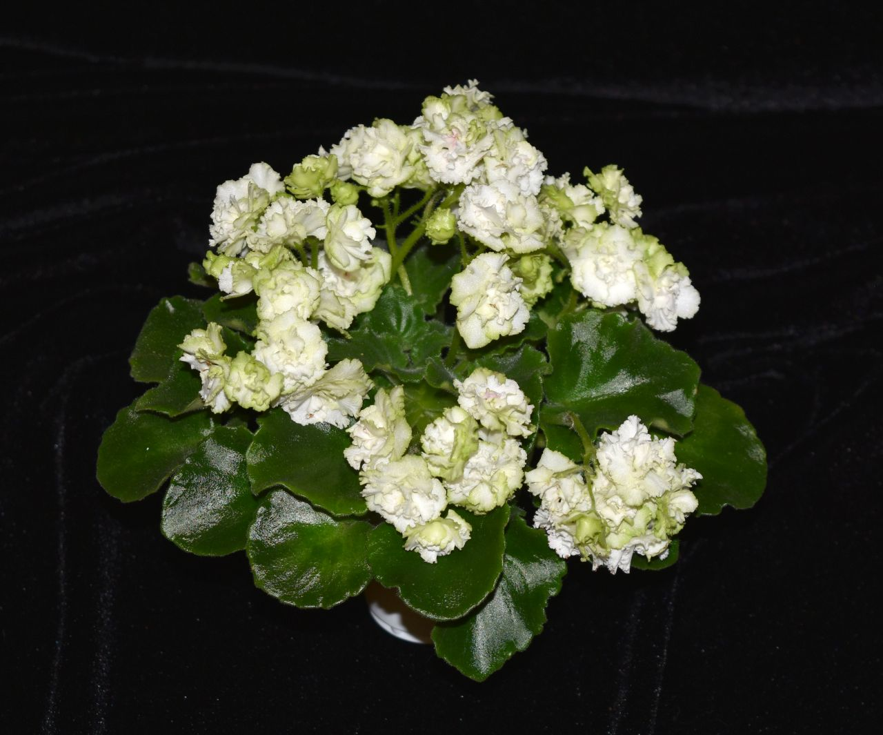 """2017 Convention<br>Old World African Gesneriads in Flower <br>Class 22A – <i>Saintpaulia</i> hybrids or cultivars classified as semi-miniatures (max of 8"""" diameter)<br>BEST SAINTPAULIA HYBRID"""