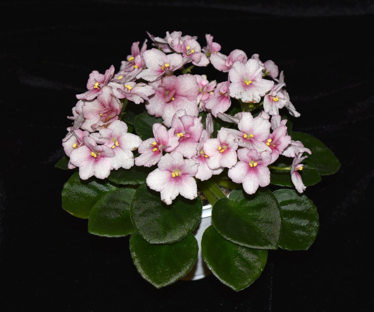 """2017 Convention<br>Old World African Gesneriads in Flower <br>Class 22B – <i>Saintpaulia</i> hybrids or cultivars classified as semi-miniatures (max of 8"""" diameter)"""