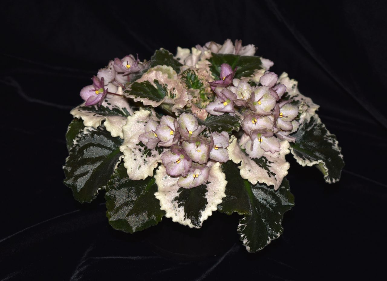 2017 Convention<br>Old World Gesneriads in Flower <br>Class 23 – <i>Saintpaulia</i> hybrids or cultivars classified as standards