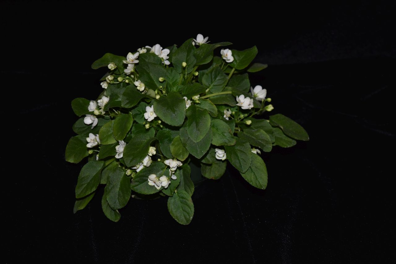 2017 Convention<br>Old World African Gesneriads in Flower <br>Class 24 – <i>Saintpaulia</i> trailers<br>BEST GESNERIAD GROWN BY A FIRST-TIME CONVENTION EXHIBITOR