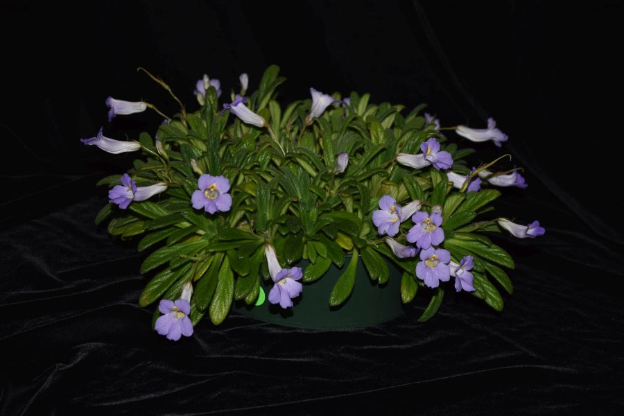 2017 Convention<br>Other Old World Gesneriads in Flower <br>Class 33 – <i>Primulina</i> species<br>BEST PRIMULINA SPECIES<br>BEST IN SECTION E – OTHER OLD WORLD GESNERIAD IN FLOWER