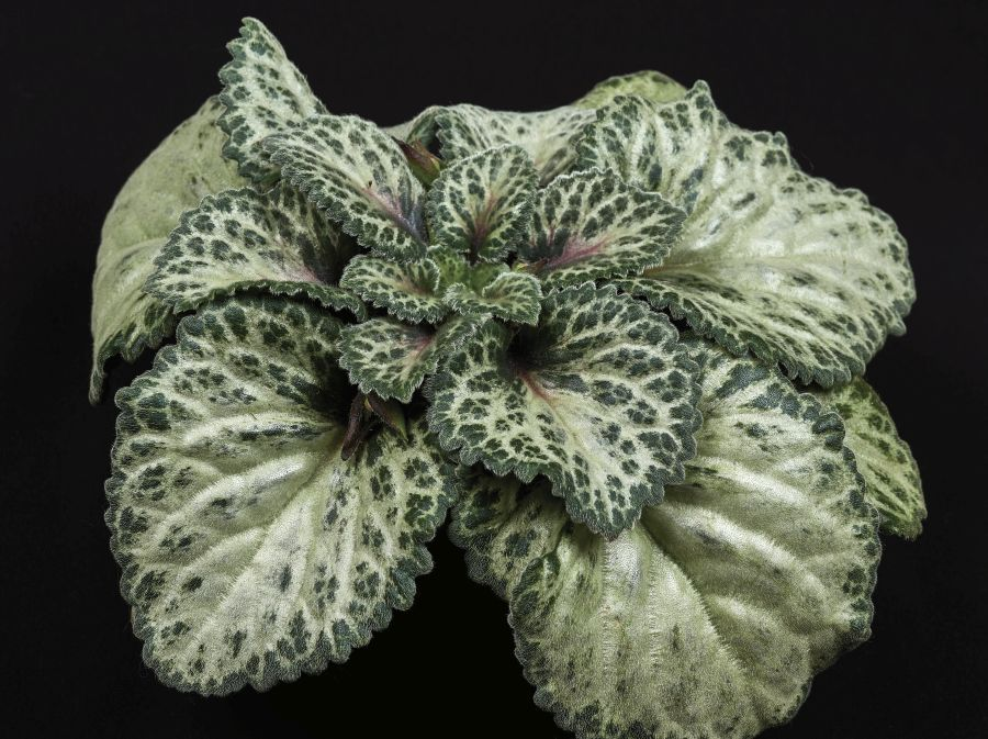 2017 Convention<br>Gesneriads Grown for Ornamental Qualities Other Than Flowers <br>Class 38A – <i>Primulina</i><br>BEST PRIMULINA HYBRID