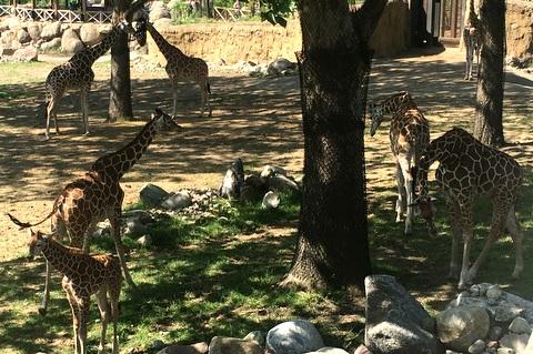 Giraffes in their habitat
