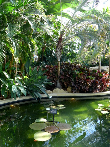 Waterlily pond in the conservatory