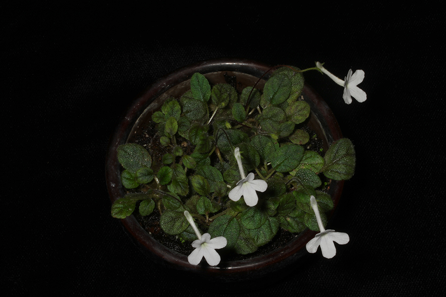 2018 Convention<br>New World Gesneriads in Flower – Tuberous<br>Class 3 Microminiature Sinningia species and hybrids