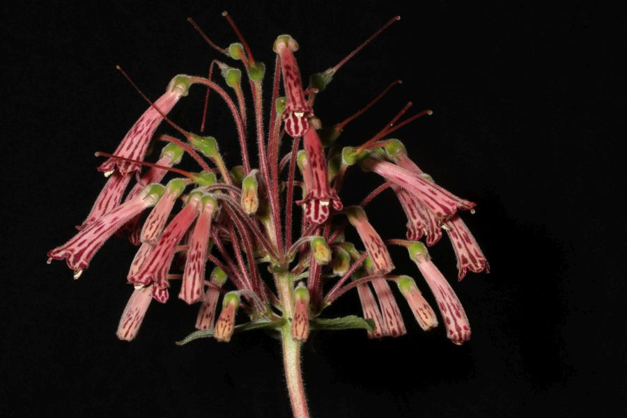 2018 Convention<br>New World Gesneriads in Flower – Tuberous<br>Class 5 Other <i>Sinningia</i> species BEST IN SECTION A – NEW WORLD TUBEROUS GESNERIAD IN FLOWER