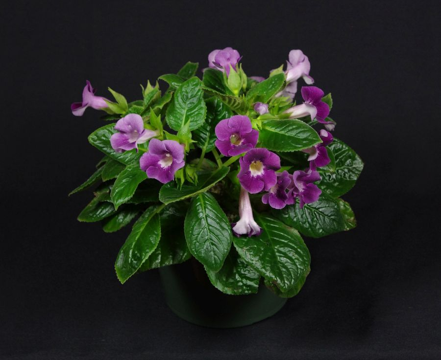 2018 Convention<br>New World Gesneriads in Flower – Tuberous<br>Class 6B Other <i>Sinningia</i> hybrids<br>BEST DAVID HARRIS HYBRID