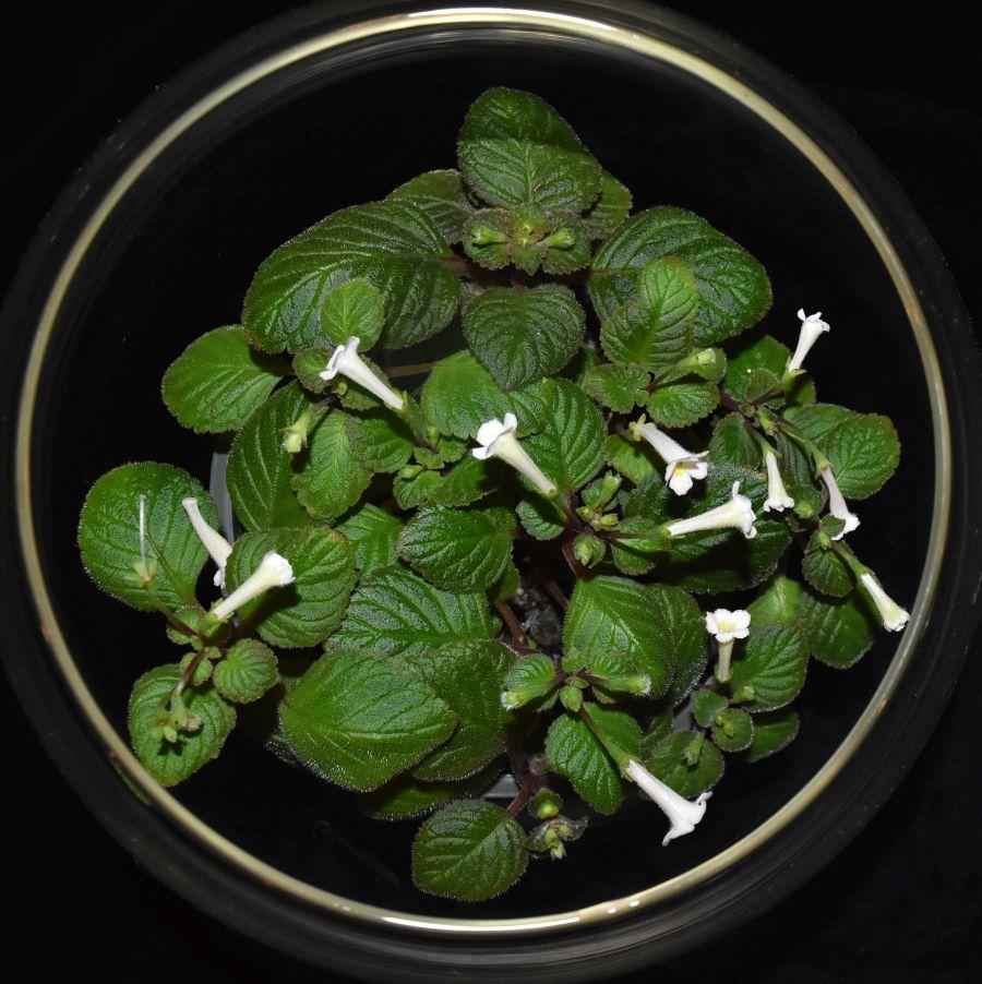 2018 Convention<br>New World Gesneriads in Flower – Rhizomatous<br>Class 13 Other rhizomatous gesneriads<br>JUDGES AWARD OF MERIT