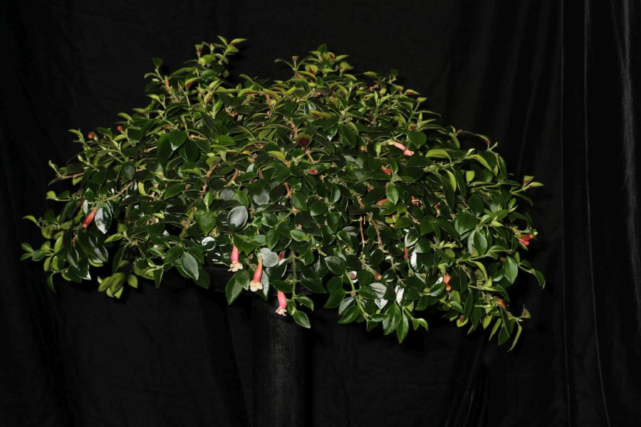 2018 Convention<br>New World Gesneriads in Flower – Fibrous-Rooted<br>Class 14 <i>Codonanthe, Codonanthopsis, ×Codonatanthus</i>