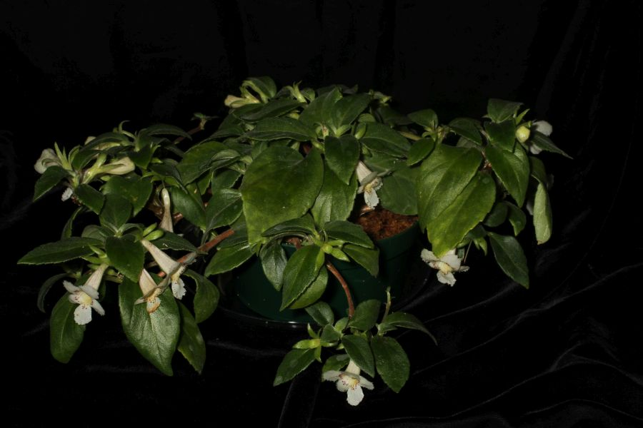 2018 Convention<br>New World Gesneriads in Flower – Fibrous-Rooted<br>Class 16 <i>Episcia, Alsobia</i>