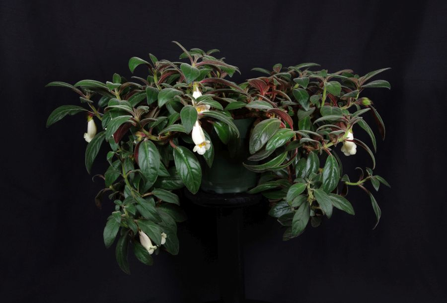 2018 Convention<br>New World Gesneriads in Flower – Fibrous-Rooted<br>Class 18 <i>Nematanthus</i><br>BEST IN SECTION C – NEW WORLD FIBROUS-ROOTED GESNERIAD IN FLOWER<br>BEST SCENTED GESNERIAD