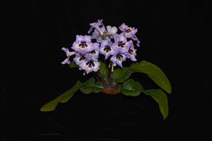 2018 Convention<br>Old World Gesneriads in Flower<br>Class 32B – <i>Streptocarpus</i>, subgenus <i>Streptocarpus</i>, hybrids<br>JUDGES AWARD OF MERIT