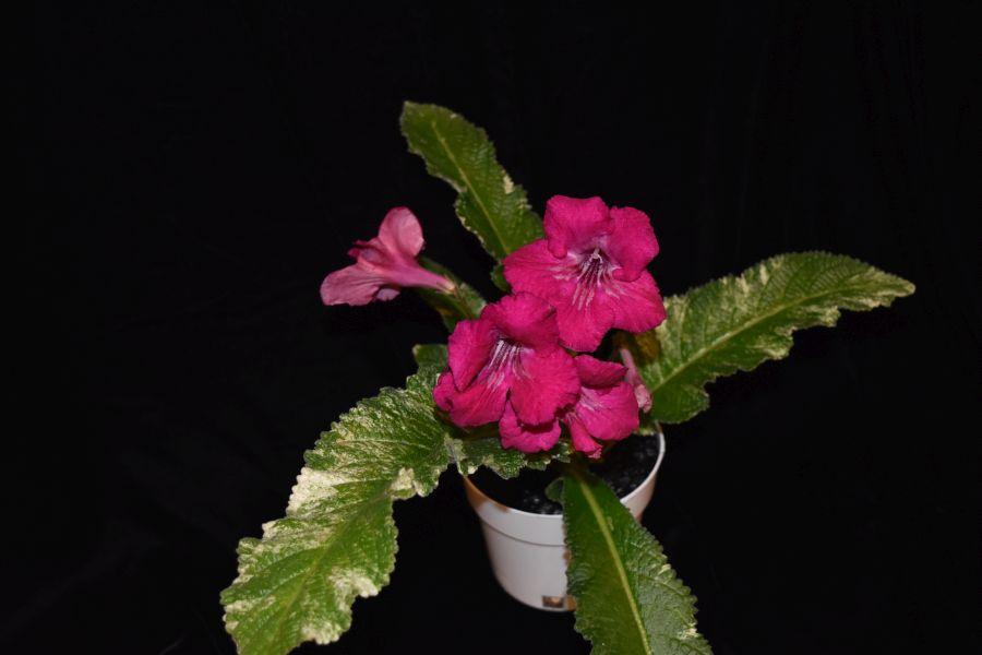 2018 Convention<br>Old World Gesneriads in Flower<br>Class 33 – <i>Streptocarpus</i>, subgenus <i>Streptocarpus</i>, hybrids with variegated foliage<br>BEST DALE MARTENS HYBRID