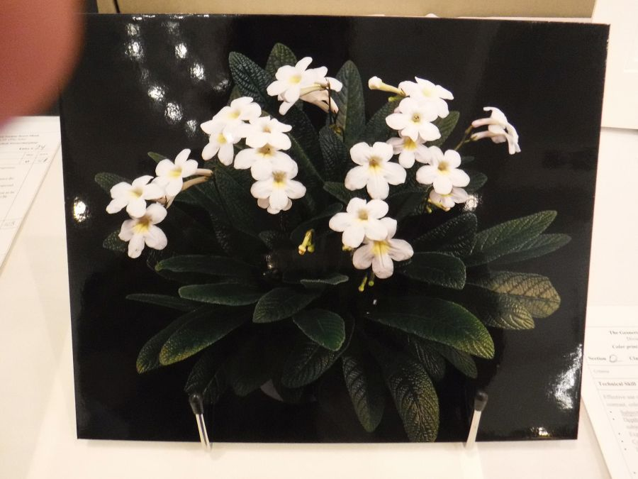 2018 Convention<br>Photography<br>Class 70 Color print of a whole gesneriad plant
