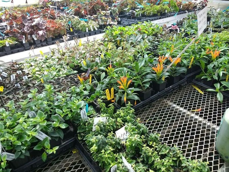 Gesneriads and other plants for sale