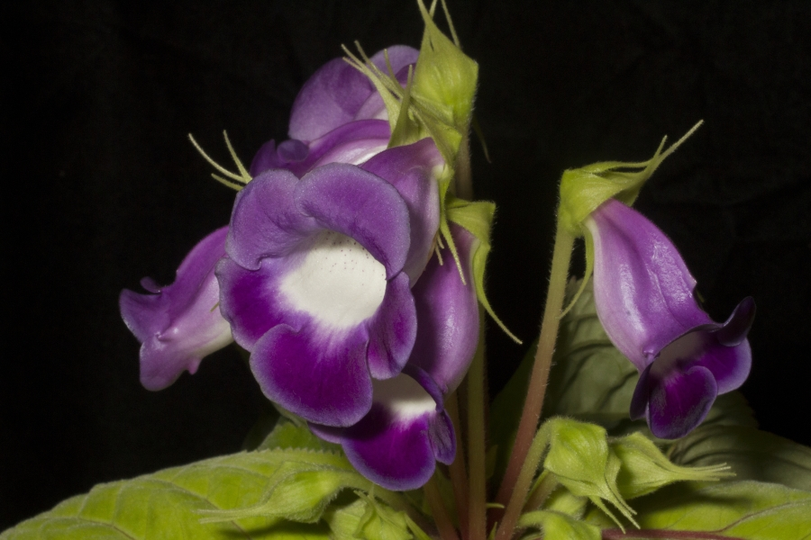 2019 Convention <br>New World Gesneriads in Flower – Tuberous  <br>Class 1 <i>Sinningia speciosa</i> species