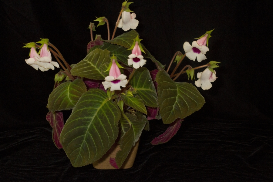 2019 Convention <br>New World Gesneriads in Flower – Tuberous  <br>Class 2 <i>Sinningia speciosa</i> cultivars