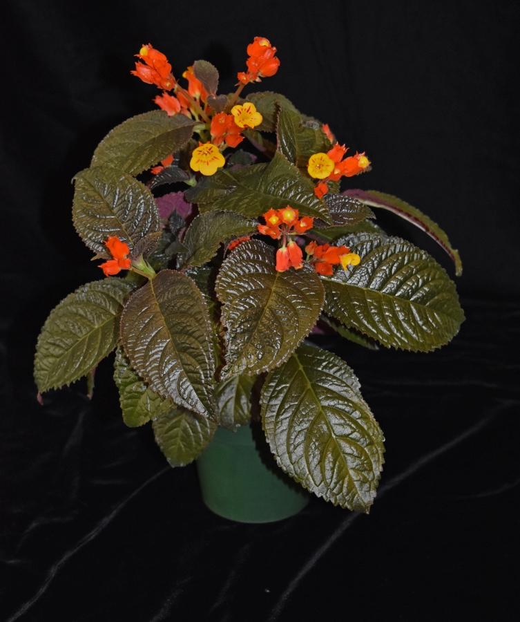 2019 Convention <br>New World Gesneriads in Flower – Tuberous  <br>Class 7 Other tuberous gesneriads