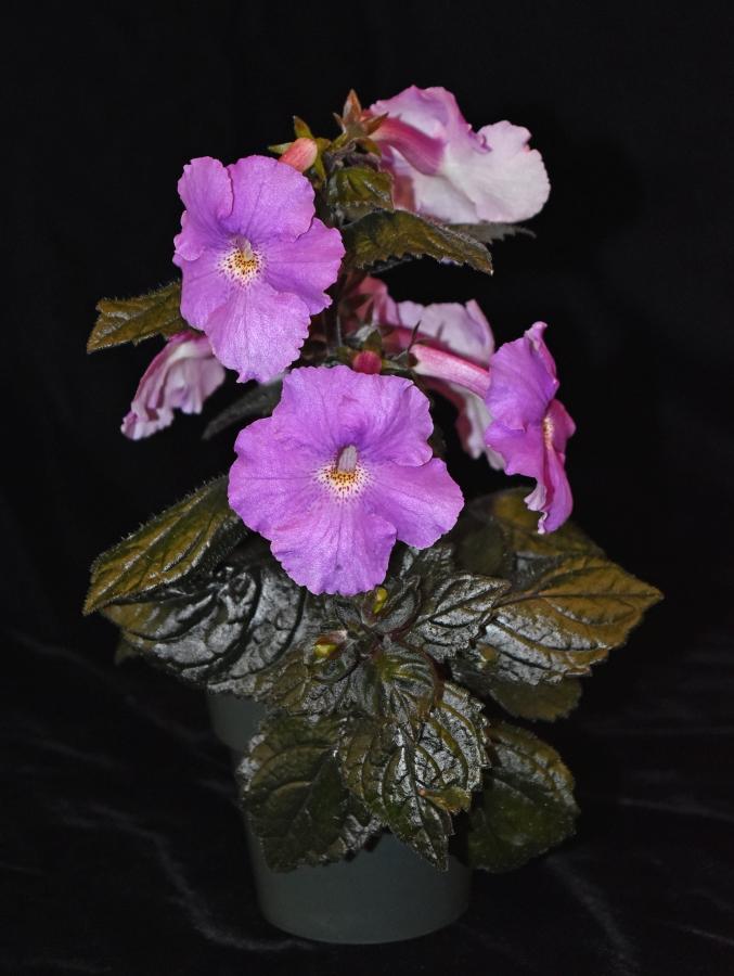 2019 Convention <br>New World Gesneriads in Flower – Rhizomatous <br>Class 8 <i>Achimenes, ×Achimenantha</i>