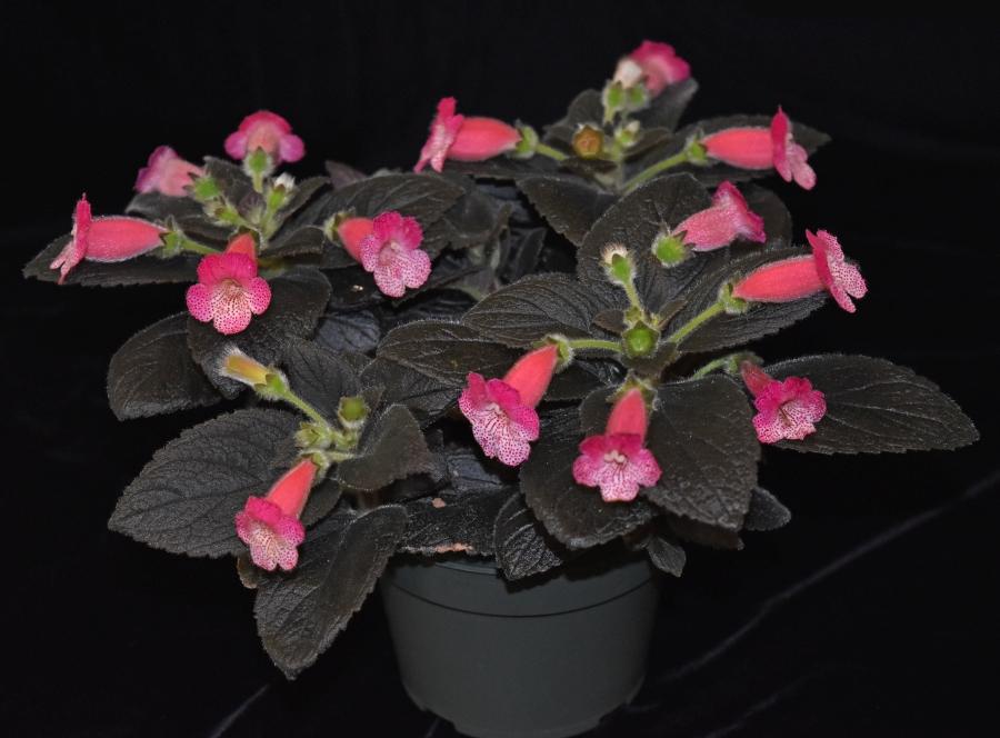 2019 Convention <br>New World Gesneriads in Flower – Rhizomatous <br>Class 9A <i>Kohleria</i> (pink) <br>BEST IN SECTION B – NEW WORLD RHIZOMATOUS  <br>GESNERIAD IN FLOWER <br>BEST BRANDON ERIKSON HYBRID