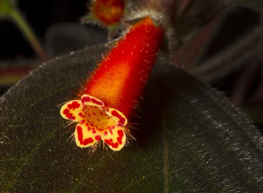 2019 Convention <br>New World Gesneriads in Flower – Rhizomatous <br>Class 9B <i>Kohleria</i> (other) <br>BEST KOHLERIA