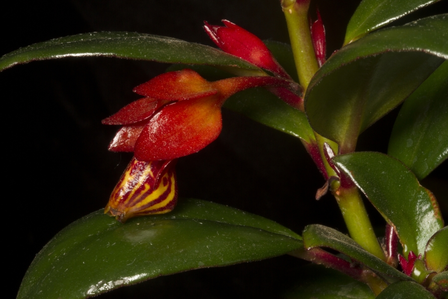 2019 Convention <br>New World Gesneriads in Flower – Fibrous-Rooted <br>Class 18 <i>Nematanthus</i>