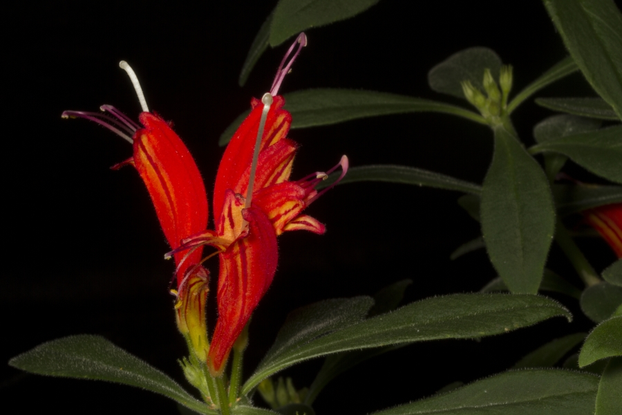 2019 Convention <br>Old World Gesneriads in Flower  <br>Class 20 – <i>Aeschynanthus</i>
