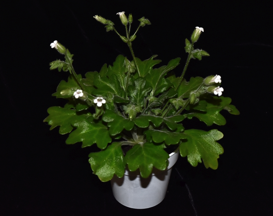 2019 Convention <br>Old World Gesneriads in Flower  <br>Class 23 – <i>Primulina species