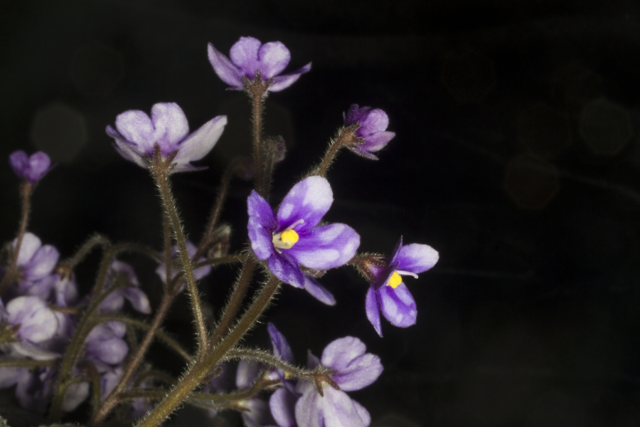 2019 Convention <br>Old World Gesneriads in Flower <br>Class 26 – Subg. <i>Streptocarpella</i>, sect. <i>Saintpaulia</i> species <br>BEST SAINTPAULIA SPECIES