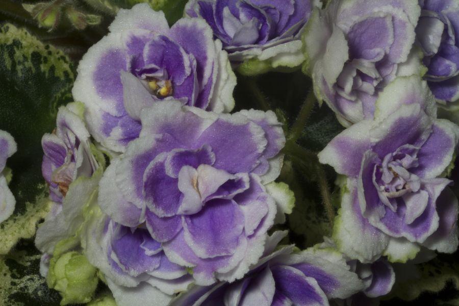 2019 Convention <br>Old World Gesneriads in Flower  <br>Class 29B – Sect. <i>Saintpaulia</i> standard cultivars variegated foliage (lavender flowers) <br>BEST SAINTPAULIA HYBRID