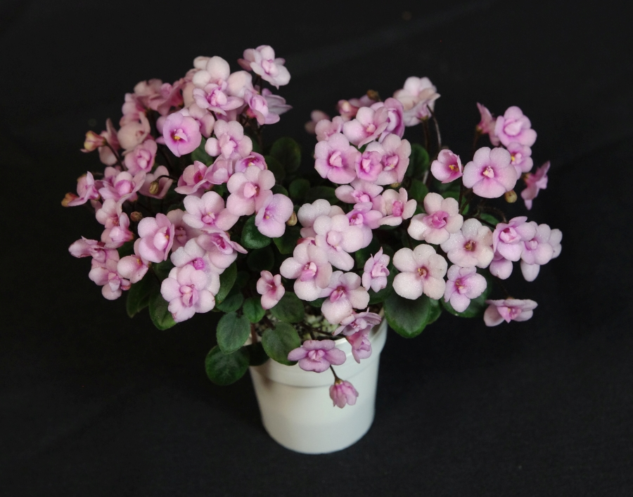 2019 Convention <br>Old World Gesneriads in Flower  <br>Class 30 – Sect. <i>Saintpaulia</i> cultivars –  trailers