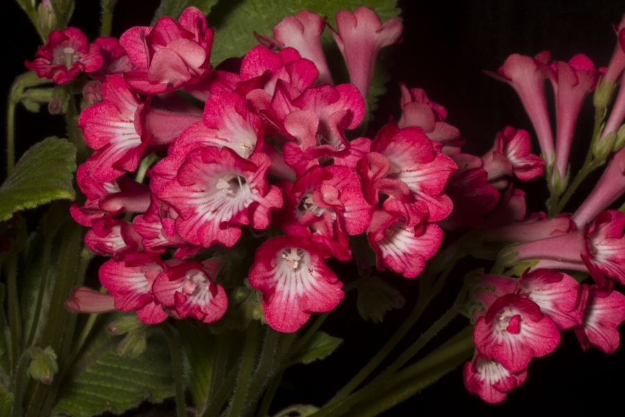 2019 Convention <br>Old World Gesneriads in Flower  <br>Class 32E – <i>Streptocarpus</i>, subgenus <i>Streptocarpus</i>, cultivars (pinks) <br>BEST IN SECTION D – OLD WORLD GESNERIAD IN FLOWER