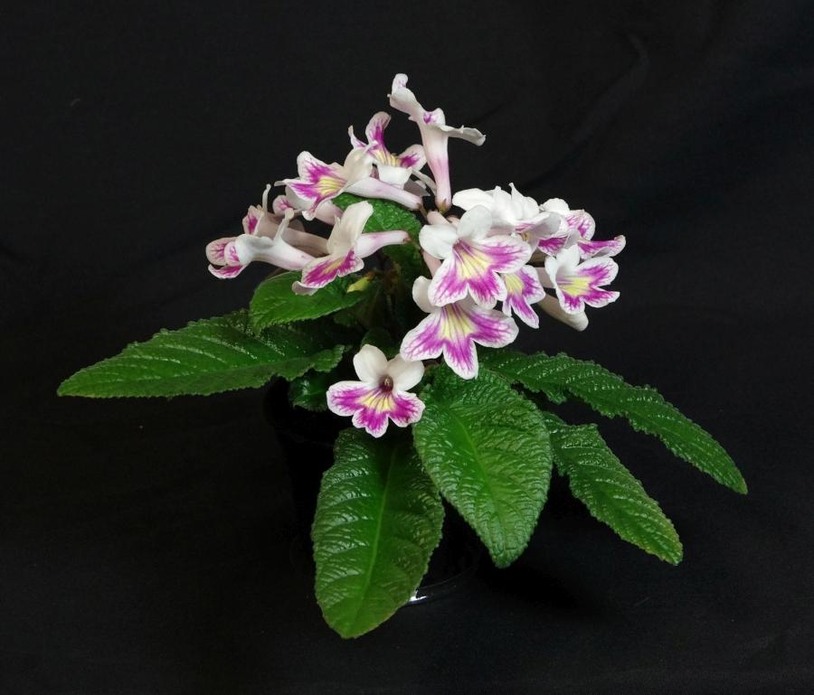 2019 Convention <br>Old World Gesneriads in Flower  <br>Class 32D – <i>Streptocarpus</i>, subgenus <i>Streptocarpus</i>, cultivars (rexii complex)